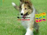 苏格兰牧羊犬一只多少钱 哪里有卖苏格兰牧羊犬的