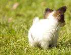 哪里有蝴蝶犬卖蝴蝶犬多少钱蝴蝶犬的图片