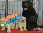 本地出售纯种拉布拉多犬 拉布拉多幼犬 寻回犬活体宠物狗