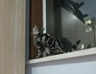出售美短虎斑一只一岁dd