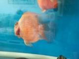 鱼友价转让两条闯缸鹦鹉鱼