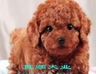 超小体口袋茶杯泰迪犬 玩具体泰迪 实物实拍照片