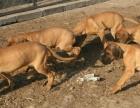 勐海卖大丹勐海买纯种大丹勐海狗场常年出售纯种大丹