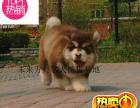 犬舍繁殖 精品 萨摩耶 哈士奇 金毛 比熊 雪纳瑞
