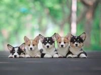 柯基犬什么地方买好 广州纯种柯基犬大概多少钱一只