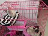 家养纯种暹罗猫,猫中的狗很聪明粘人