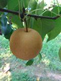 宁陵皇冠梨翠玉梨正在大量上市中欢迎订购