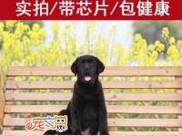 广州哪里买拉布拉多犬好 拉布拉多幼犬多少钱 赛级拉布拉多犬
