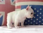 广州哪里有卖奶油色法斗 奶油色法斗图片 小短体法国斗牛犬出售