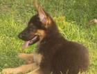 兰州犬舍出售精品德国牧羊犬一血统纯正一纯种健康