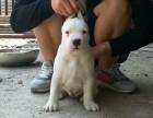 宜昌市购买纯种杜高犬价格自提多少钱