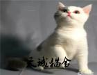 纯种短毛猫,猫舍繁殖,健康纯种,品质保障