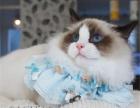 家庭猫舍蓝双色 布偶猫 海豹双色布偶猫手套山猫布偶