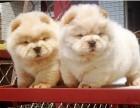 上海哪里有松狮犬卖 上海松狮犬价格 上海松狮犬多少钱