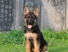 正规犬舍出售精品德国牧羊幼犬包健康签协议送用品