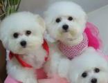 出售圆脸比熊幼犬小体大眼睛甜美脸型卷毛棉毛