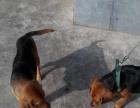 自家养的比格猎犬-世界名犬之一
