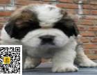 哪里有卖圣伯纳圣伯纳多少钱圣伯纳图片圣伯纳幼犬
