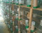 大量出售灰白珍珠鸟