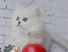 萌宠金吉拉活体纯种金吉拉幼猫波斯猫银渐层碧绿眼猫咪