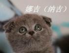 超高品质蓝猫弟弟找新家 绝对的美腻猫猫哦