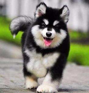 宠物狗纯种阿拉斯加犬阿拉斯加幼犬阿拉斯加狗阿拉斯加雪橇犬