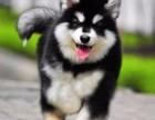 熊版阿拉斯加幼犬出售 大骨量阿拉斯加雪橇犬