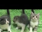 纯种英短折耳小奶猫