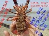 河南淡水小龙虾苗批发,现在龙虾苗,种苗,种虾,抱卵虾价格