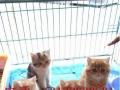 出售小可爱短毛猫猫咪 加菲体型肥大,健康活公母都有