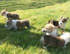 北京本地犬舍直销纯种,柯基犬,质保三个月