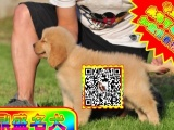 基地繁殖出售2-4个月公母都有纯种金毛幼犬实物拍摄