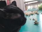 纯黑一岁公猫价格面议