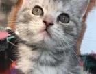 温顺的美国短毛猫