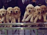 东莞 本地出售金毛幼犬狗狗包健康纯种售后无忧