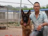 纯种德牧 CSV认证血统 买狗狗送全套宠物用品