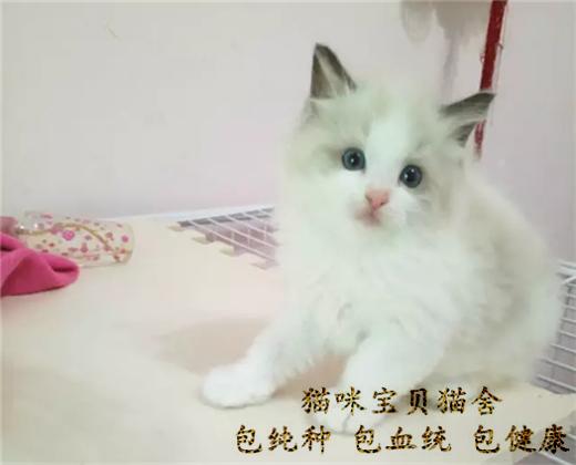 纯种布偶猫,猫舍繁殖,健康纯种,品质保证