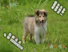 哪里可以买到健康的苏格兰牧羊犬可以签协议的那种
