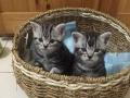 美短公猫欢迎母猫撩
