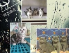 阿杰猫舍、长期对外批发零售各类宠物猫