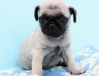 基地繁殖纯种健康性格开朗又好玩的巴哥幼犬