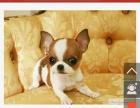 黑白苹果头的或者黄白花的,串串的不要,可以上门看狗选购优先