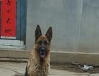德国牧羊犬 母犬2岁零3个月