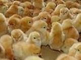 安阳豫通供应生长速度快,优质肉鸡苗快大黄鸡苗
