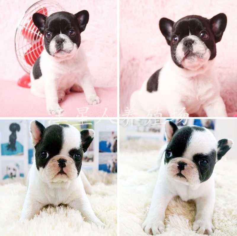 惠州地区最大养殖场 出售世界名犬 可签协议 可送货上门