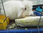 北京市昌平区优质宠物大白兔转让