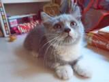曼基康小短腿蓝白猫