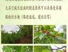 2016江陵第五届樱桃采摘节