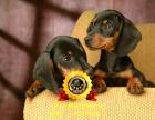 全国连锁双血统腊肠犬繁殖基地 本地可上门