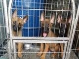 出售自家养的小马犬还有两只小母优惠出售